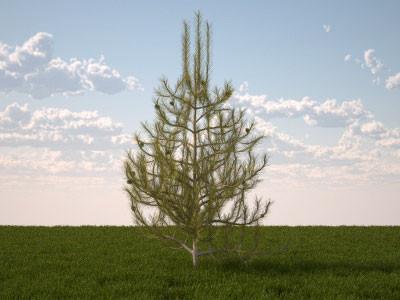 Pinus sylvestris juvenile