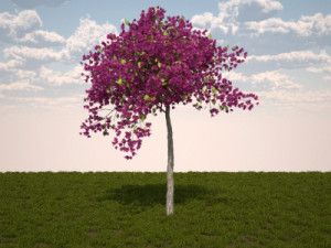 Bougainvillea glabra - small tree form