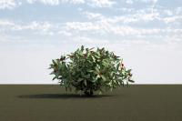 Skimmia japonica 2
