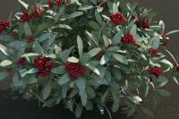 Skimmia japonica 4