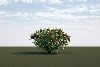 Skimmia japonica 1